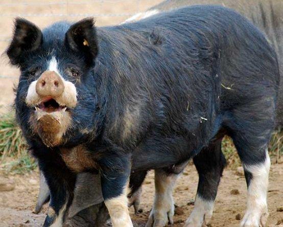 Беркширська порода свиней